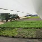 plantaciones liliumm